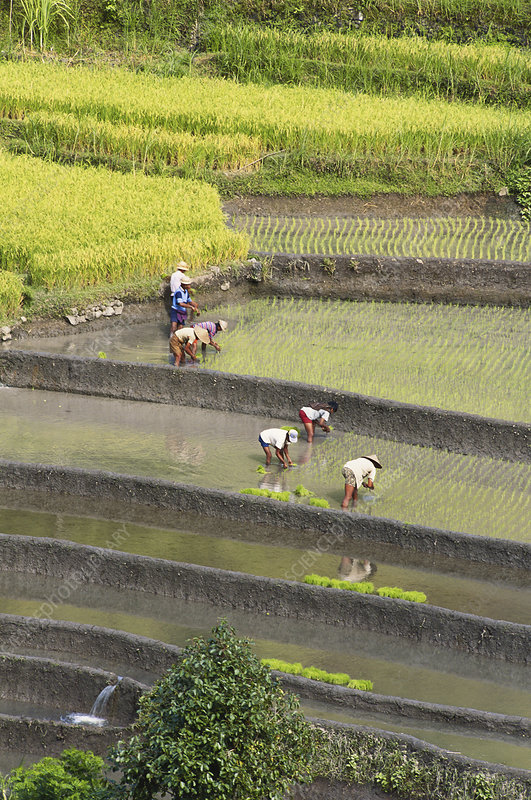Planting Rice, Indonesia