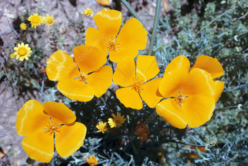 Mexican Goldpoppy