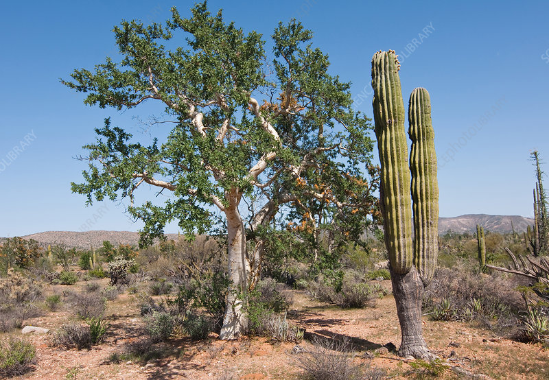 Elephant Tree and Cardon Cactus