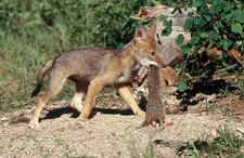 Coyote Pup with Squirrel