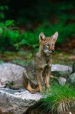 Young Eastern Coyote