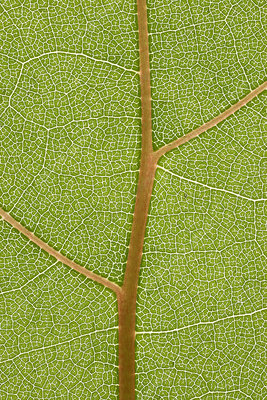 Auxin Is Required for Leaf Vein Pattern in Arabidopsis