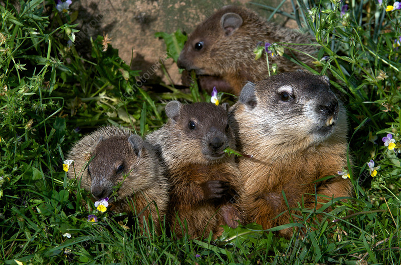 Woodchuck Family