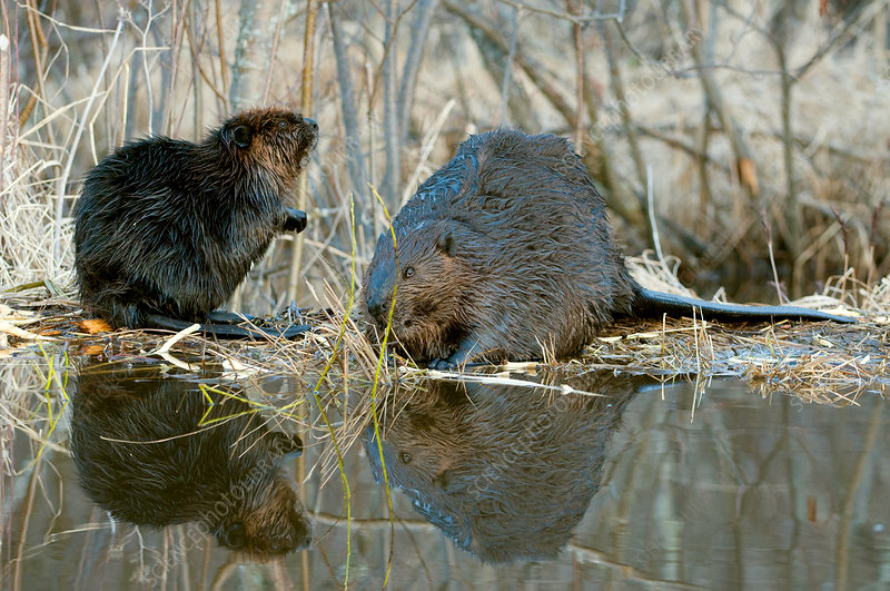 Beaver with young