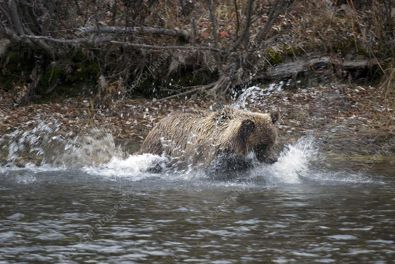 Brown Bear in The Yukon