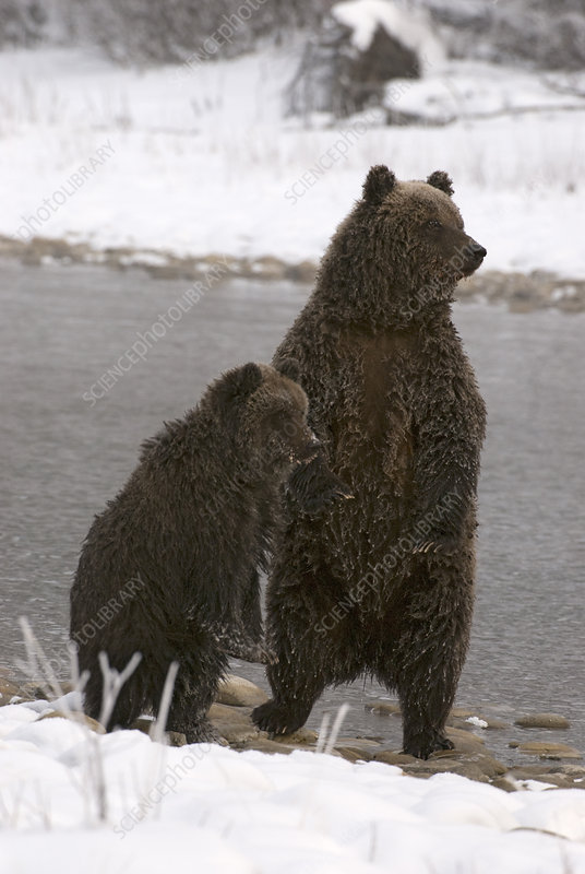 Brown Bears in The Yukon