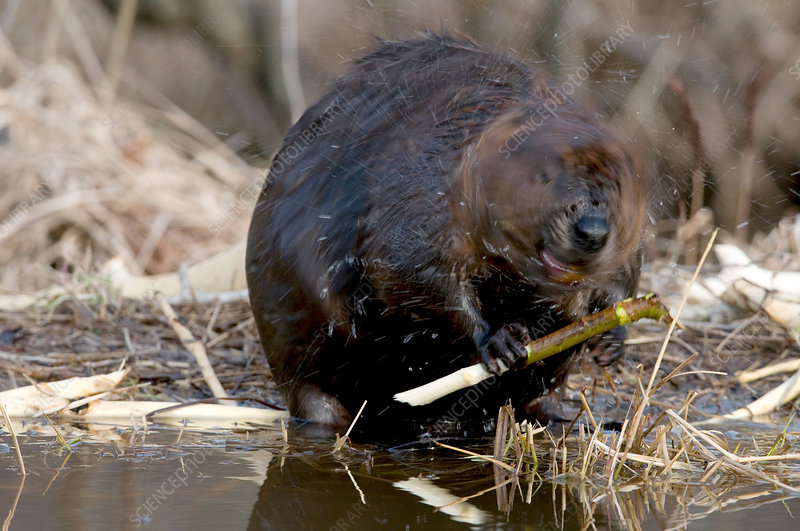 Beaver Shaking off Water