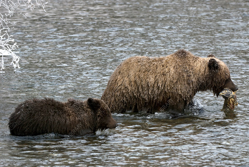 Brown Bears hunting Salmon
