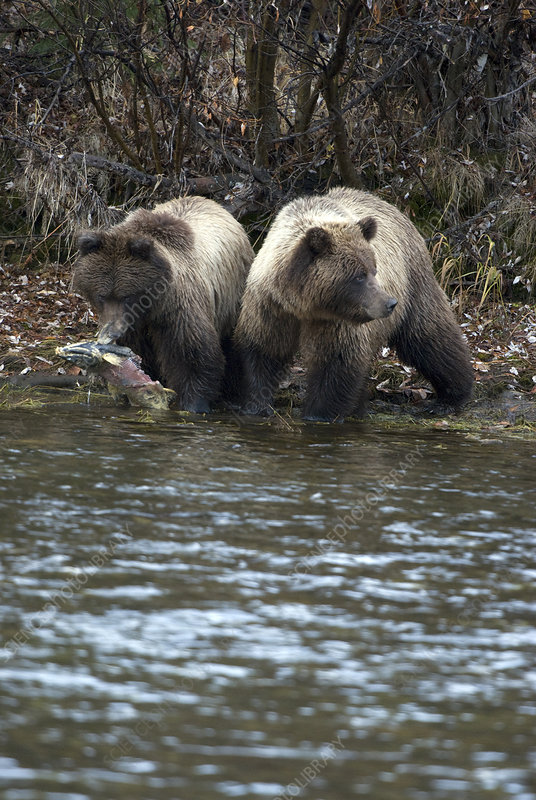 Brown Bear Cubs with Salmon