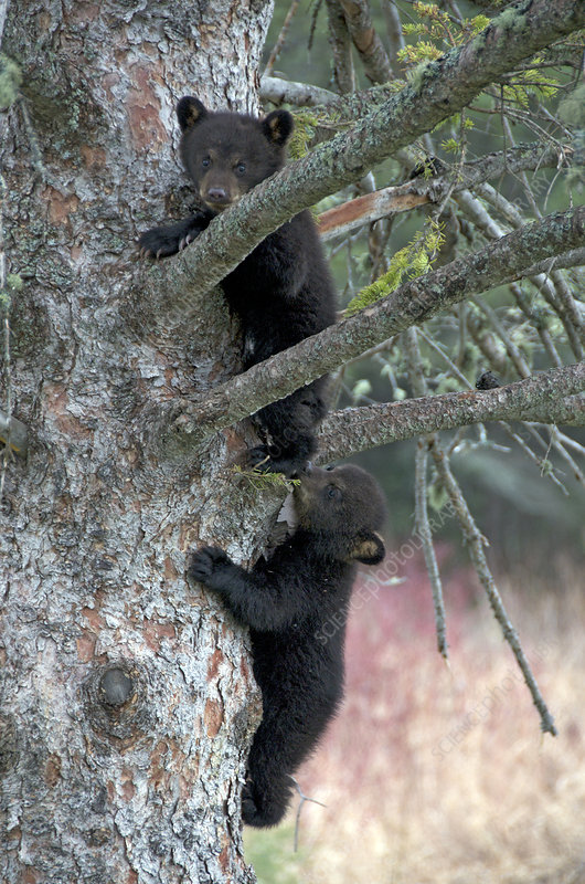 Wild American Black bear siblings