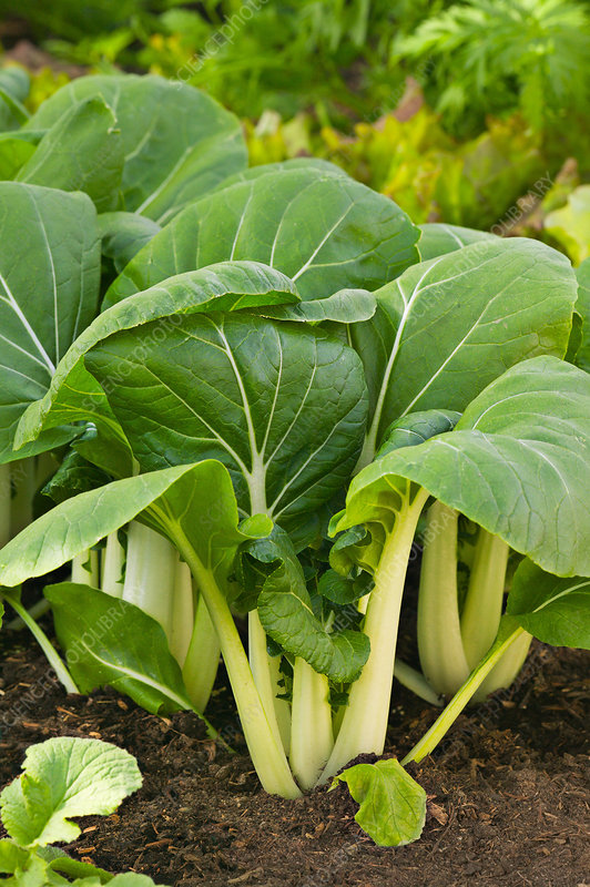 Chinese White Cabbage