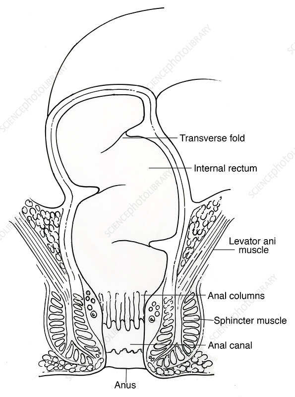 Illustration of Rectum
