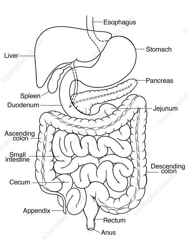 illustration of abdomen stock image c017 2538 science photo Appendicular Skeleton Diagram illustration of abdomen