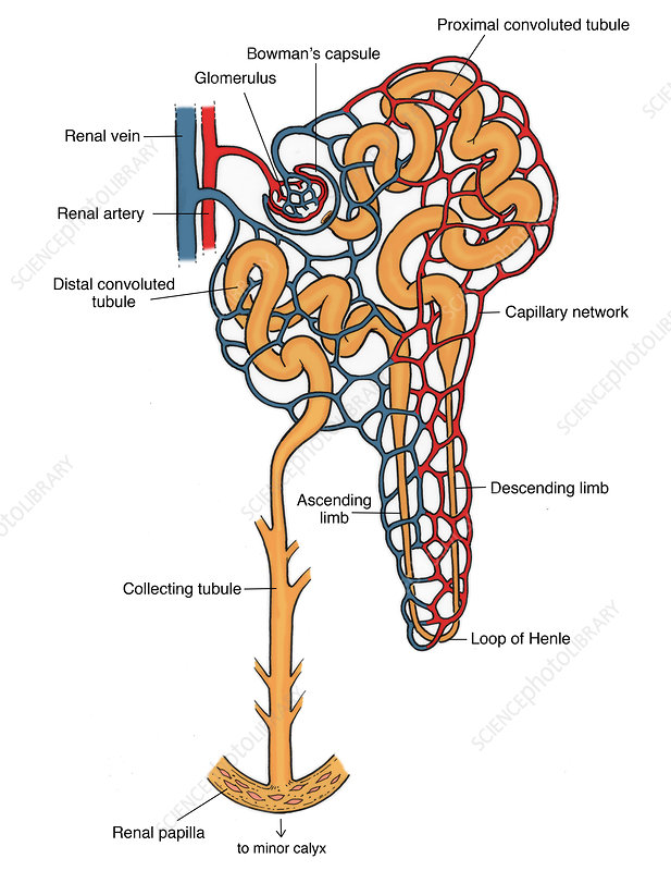 Illustration of Nephron
