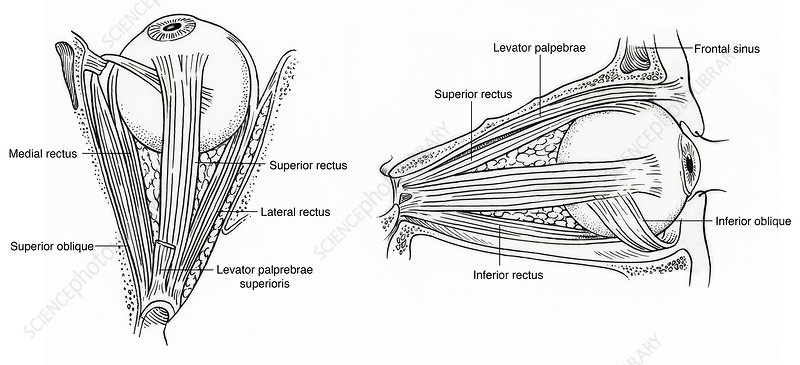 Illustration of Eye Muscles