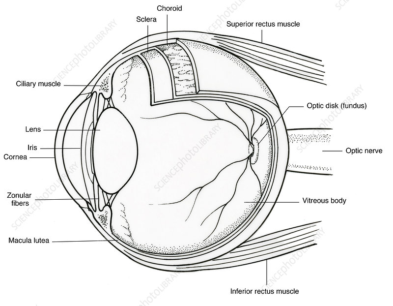 Illustration Of Eye Anatomy Stock Image C0172565 Science