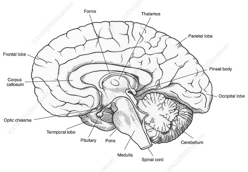 illustration of human brain - stock image c017  2568