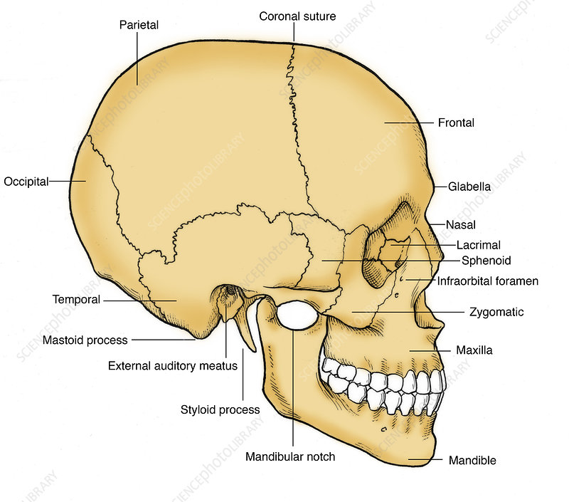 Illustration of Human Skull