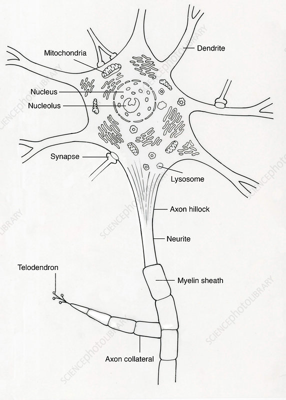 Illustration of Motor Neuron