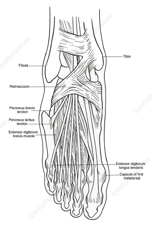Illustration of Foot Anatomy