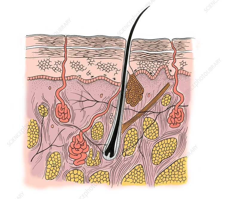 Illustration of Skin Section