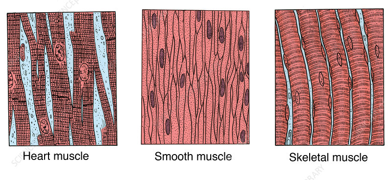 Illustration of Muscle Types