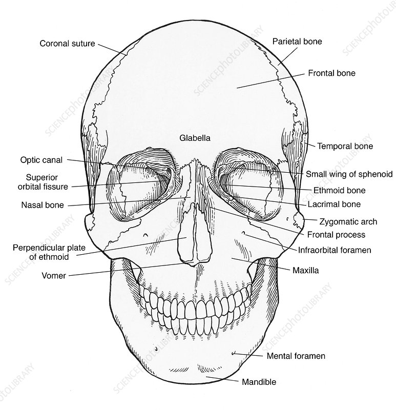 Illustration of Anterior Skull