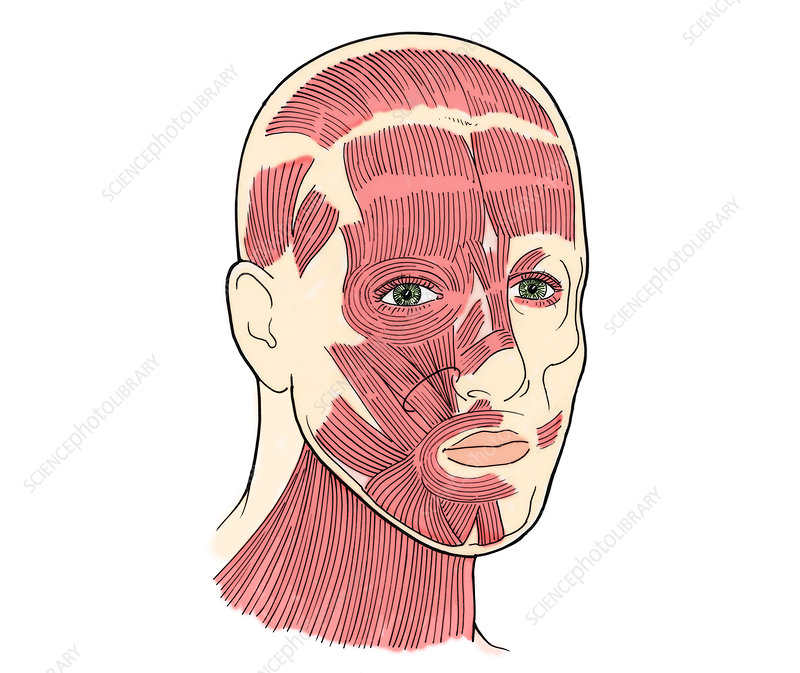 Illustration of Facial Muscles