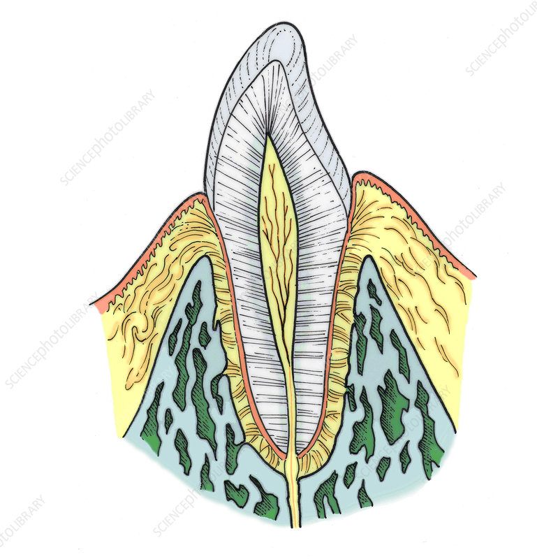 Illustration of Pre-Molar Tooth