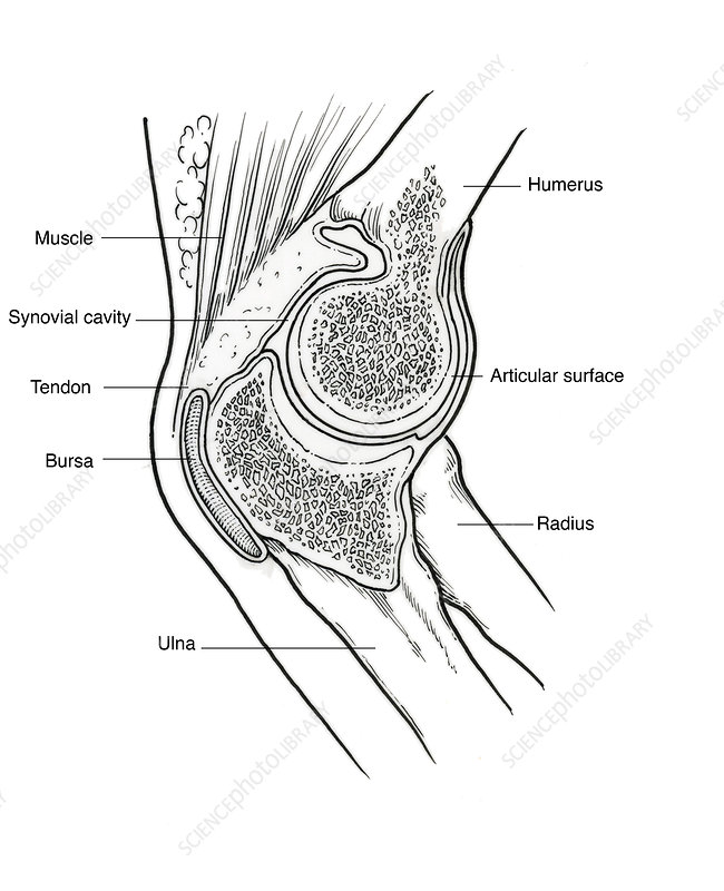 Illustration of Right Elbow Joint
