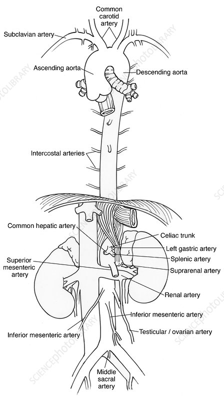 Illustration of Aorta and Branches