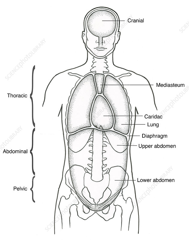 Illustration Of Anterior Body Cavities Stock Image C0172704