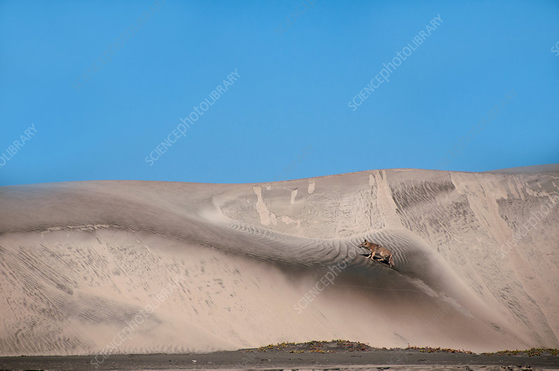 Coyote on sand dune