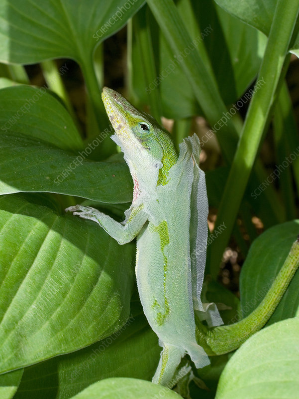Green anole shedding