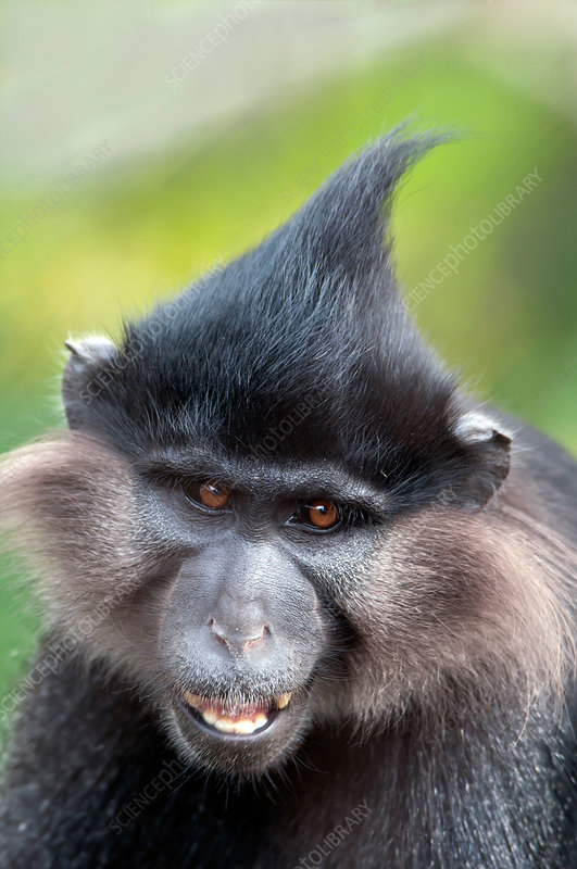 Black Crested Mangabey