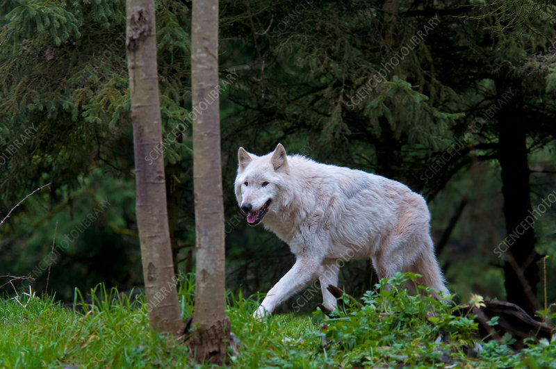 Gray Wolf (White Morph)