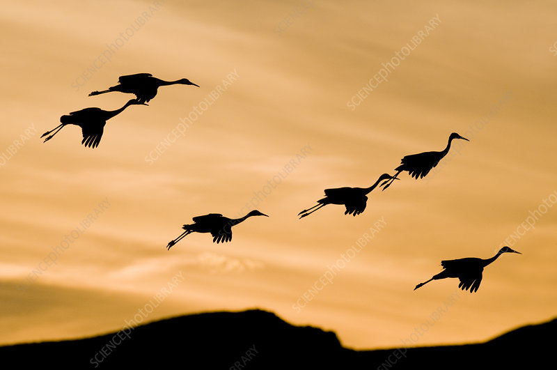 Greater Sandhill Cranes in Flight
