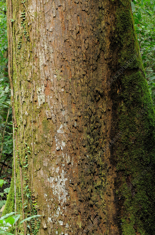 Endangered Lauan Tree