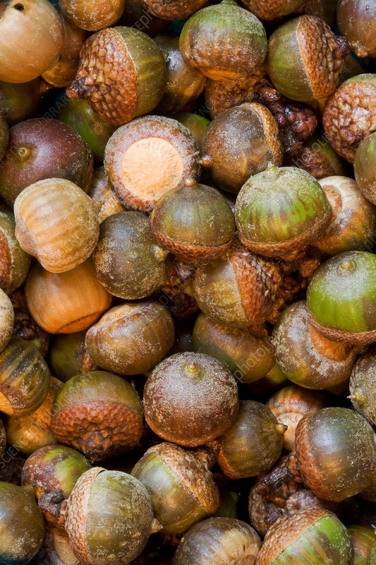 Acorns from oak tree