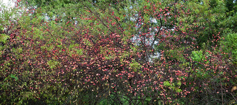 Chickasaw Plum thicket
