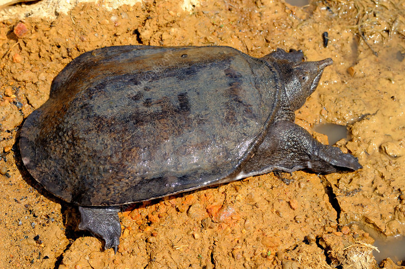 Malayan Soft-Shelled Turtle