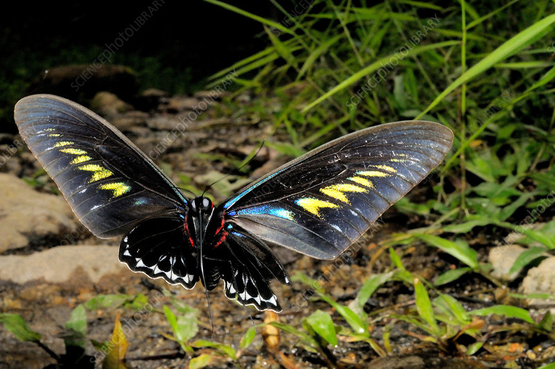 Rajah Brooke's Birdwing in Flight