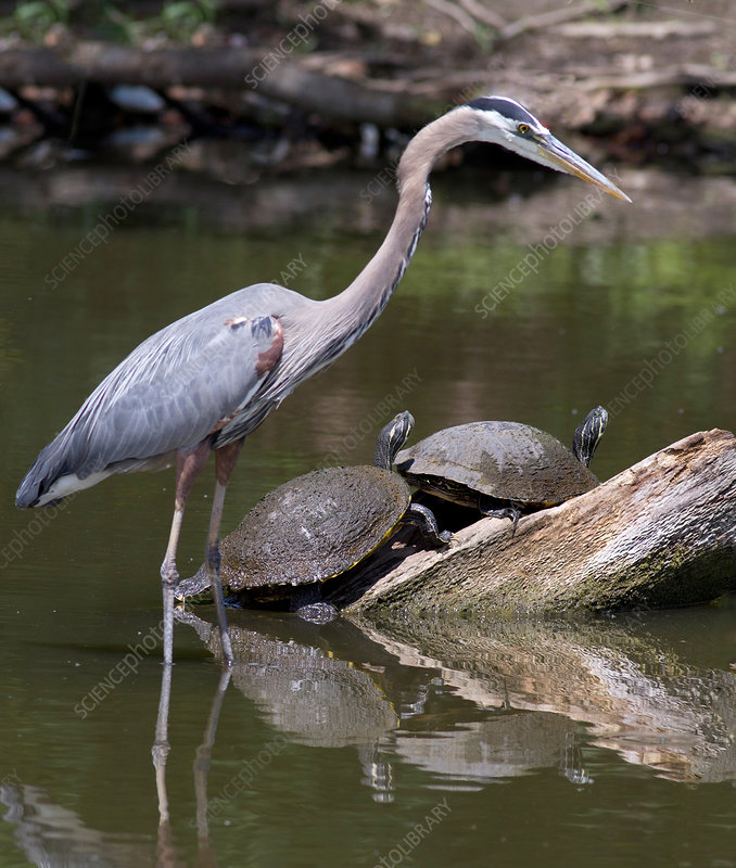 Great Blue Heron and River Cooters