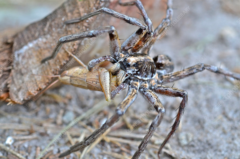 Carolina Wolf Spider with prey