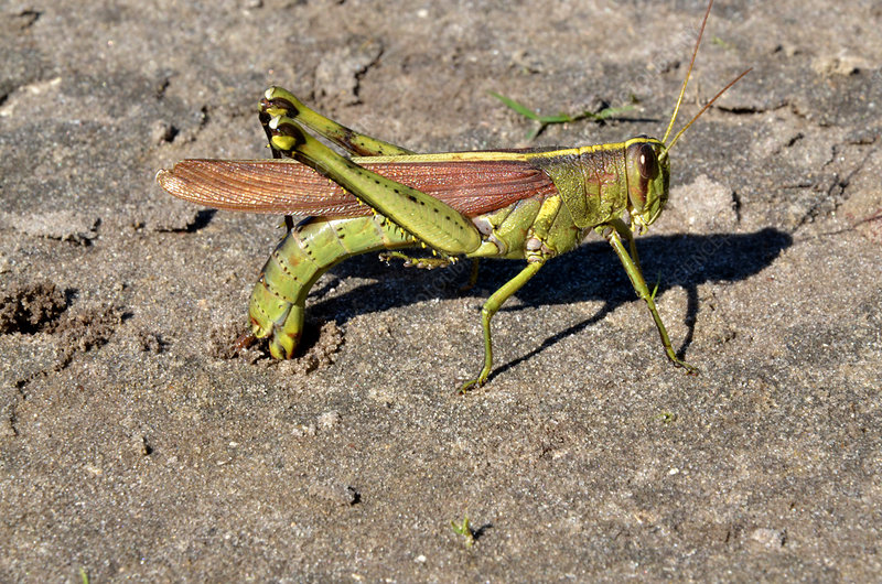 Obscure Grasshopper laying eggs