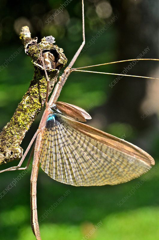 Flying Stick Insect