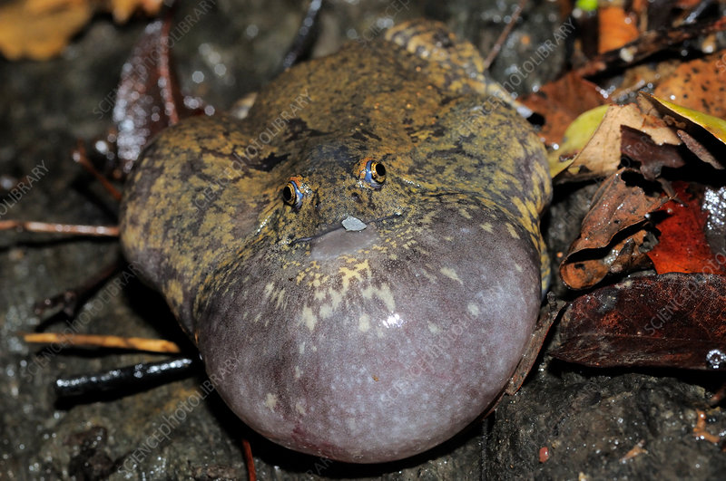 Truncate-snouted burrowing frog