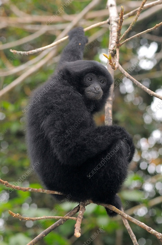 Young Female Siamang