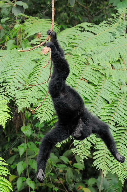 Young Female Siamang Playing