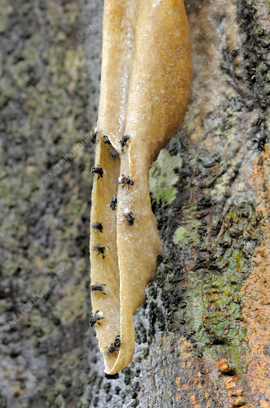 Stingless Bees at Hive